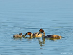 Grebe feeding young