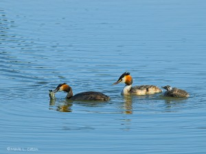 Mother Grebe gets fed up
